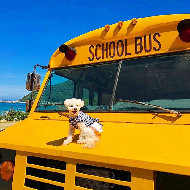 yellow school bus with dog on her